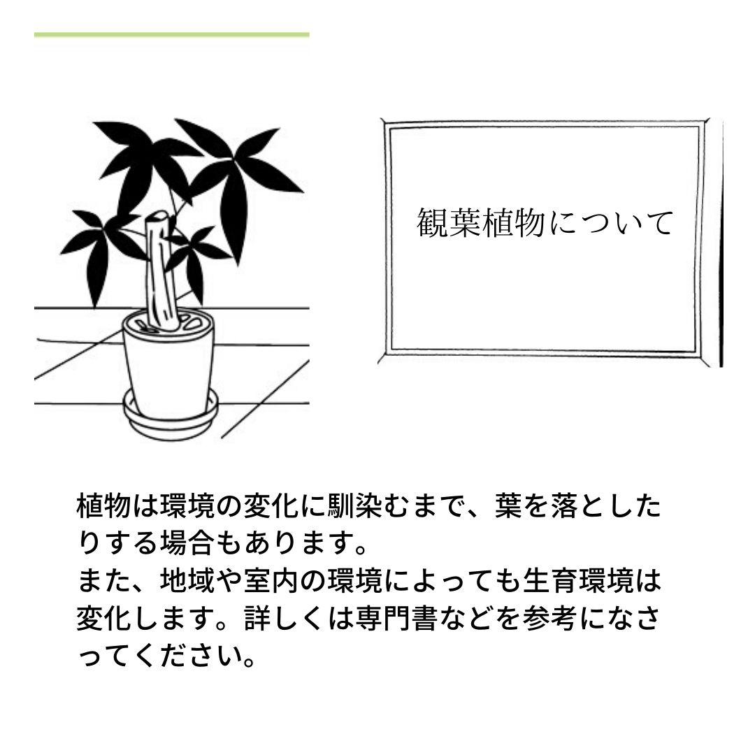 サンスベリア オバケ -01