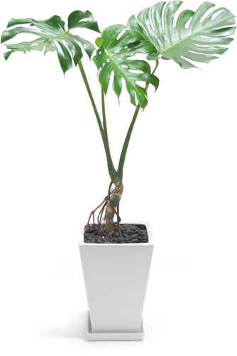 おまかせ観葉植物8号鉢