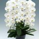 【サイズが選べる】3本立胡蝶蘭・白|最高品質
