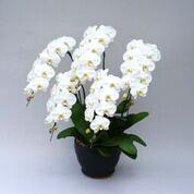 サイズが選べる】5本立胡蝶蘭・白|最高品質