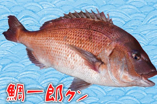 【愛媛 宇和島産】鯛一郎クン 約2kg(キロ1,500円)