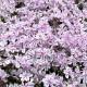 高品質 芝桜 キャンディストライプ(多摩の流れ)白地にピンク縞種 9cmポット苗 80株 シバザクラ グランドカバー 送料無料