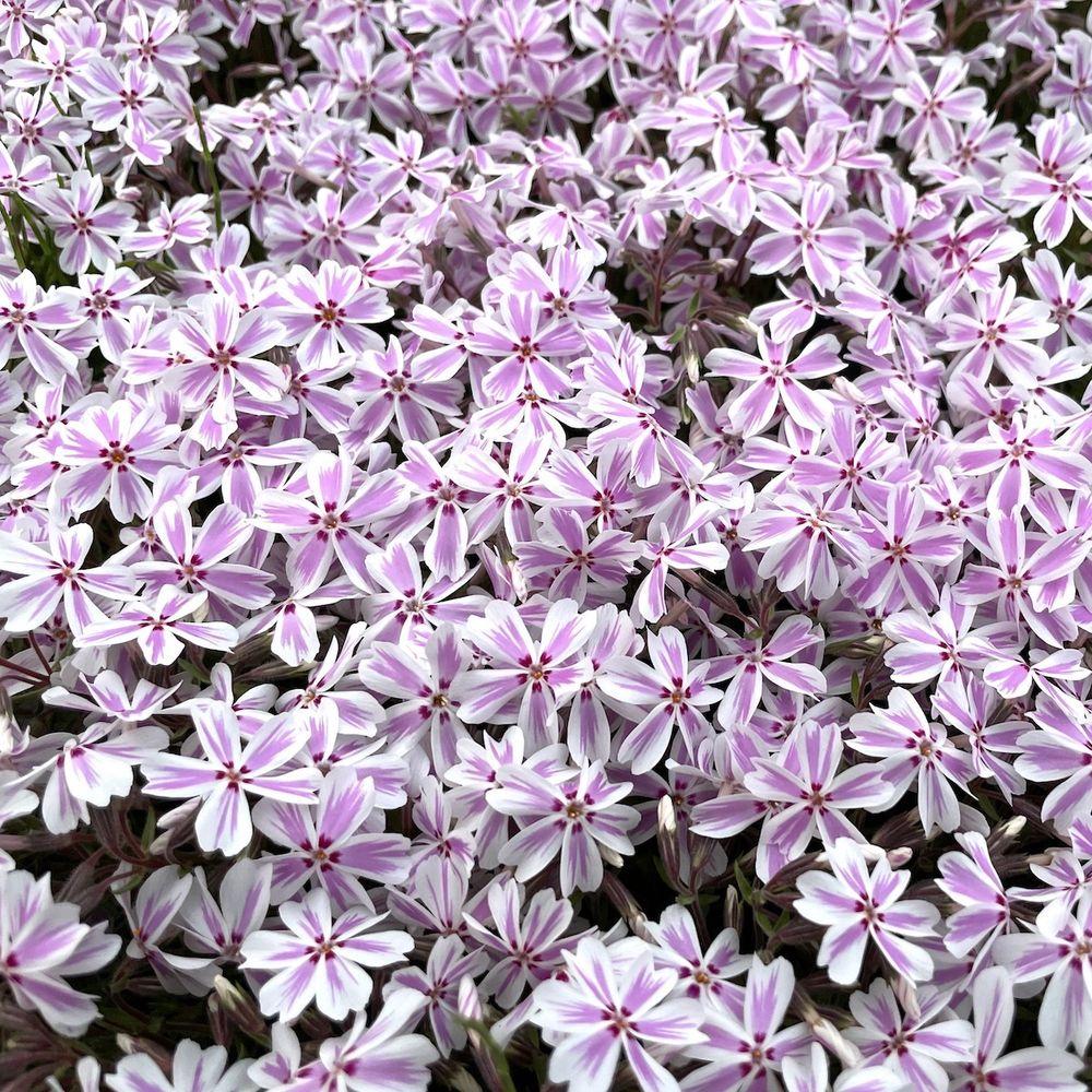高品質 芝桜 キャンディストライプ(多摩の流れ) 白地にピンク縞種 9cmポット苗 160株 シバザクラ グランドカバー 送料無料