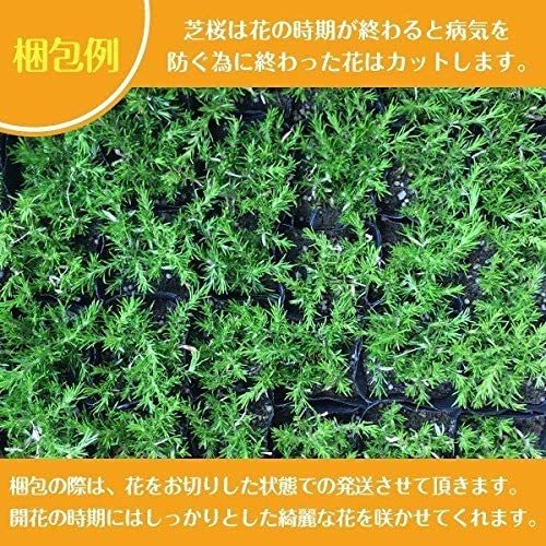芝桜 赤色 スカーレットフレーム 9cmポット 40株 シバザクラ グランドカバー 送料無料