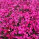 芝桜 赤色 スカーレットフレーム 9cmポット 240株 シバザクラ グランドカバー 送料無料