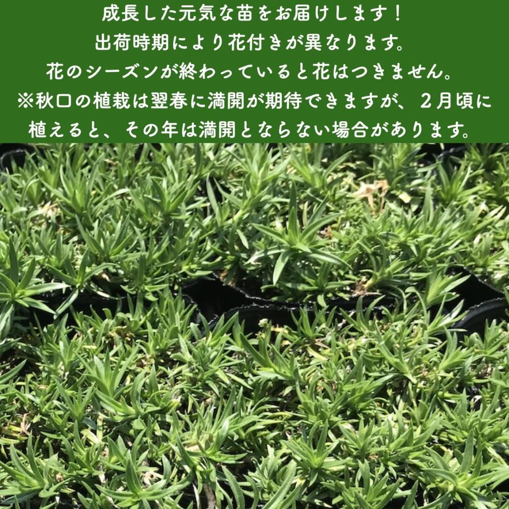 高品質 芝桜 オータムローズ ピンク色種(桃色) 9cmポット苗 80株 シバザクラ グランドカバー 送料無料