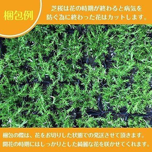 高品質 芝桜 スプラータ ピンク種 9cmポット苗 40株 シバザクラ グランドカバー 送料無料 スブラータ