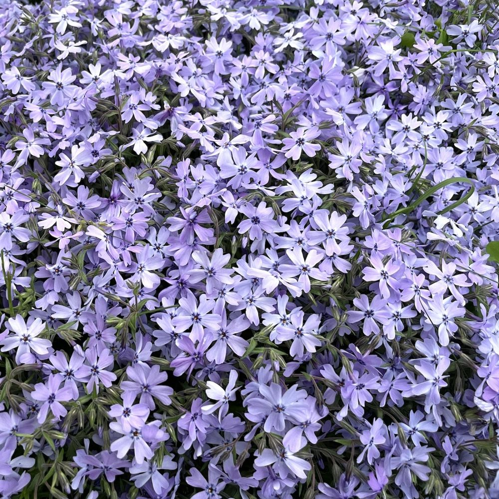 高品質 芝桜 オーキントンブルーアイ 青色種 9cmポット苗 40株 シバザクラ グランドカバー 送料無料