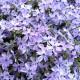 高品質 芝桜 オーキントンブルーアイ 青色種 9cmポット苗 80株 シバザクラ グランドカバー 送料無料