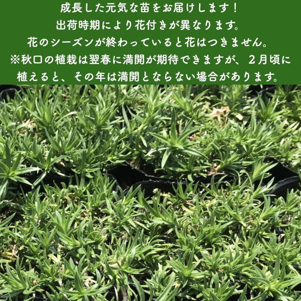 高品質 芝桜 オーキントンブルーアイ 青色種 9cmポット苗 240株 シバザクラ グランドカバー 送料無料