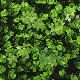 NIG255 フェイクグリーンウォール 人工観葉植物 クリーパーとツゲ 50×50cm ※ご注文受付後送料別途見積