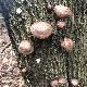 ミモレ農園セレクト 原木しいたけ 200g