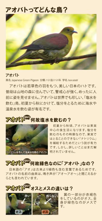 群馬県上野村アオバトガイドツアー/世界でも珍しい塩水を飲む鳥!
