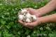 みやむーのにんにく「極」 500g。自然農法で究極を追求したにんにくです。