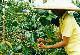 【注文後焙煎だから鮮度抜群】 インドネシア アリオスト・トラジャ 250g