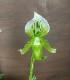 パフィオペディラム 爽やかグリーン  Paphiopedilum 4号鉢