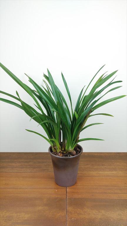 和蘭 「紫源氏(むらさきげんじ)」  花芽付き5号鉢 2花茎