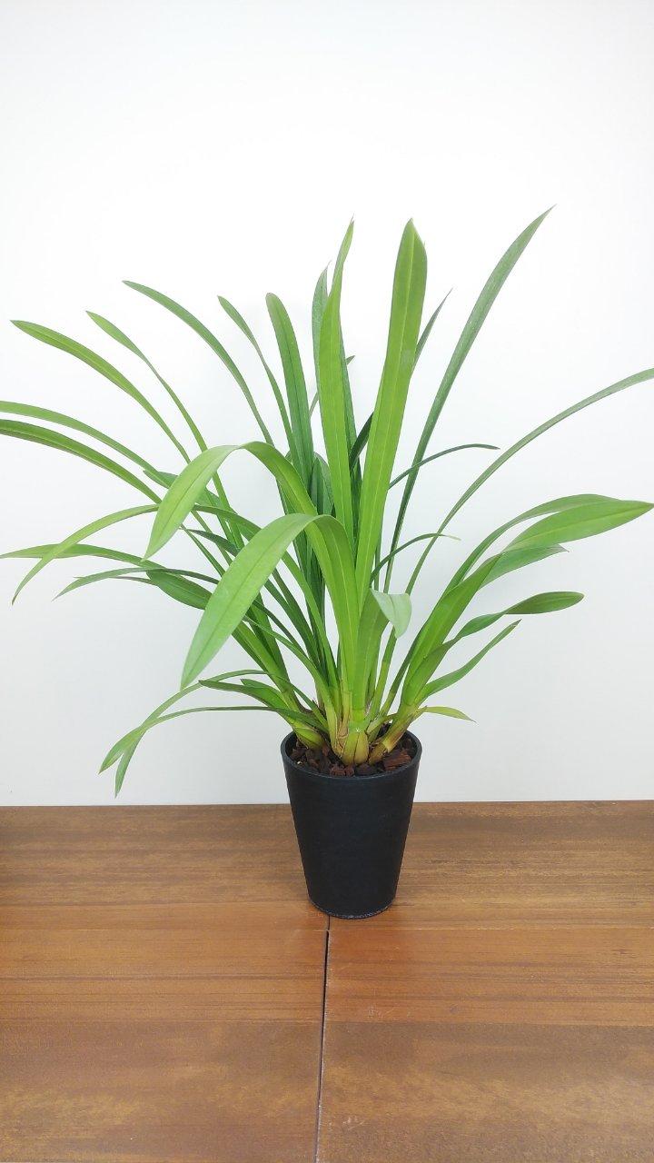 シンビジウム 'グリーンオアシス' 3〜4花茎  花芽付  爽やかな色あいの小型品種