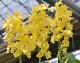 彗星蘭  「スプリングサンシャイン」 苗〜開花株 鮮やかな黄色 フリルのような花びら 星のようなカタチ まるで夜空を駆ける流れ星☆彡