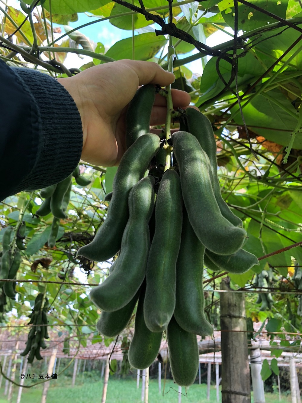 ムクナ豆お試し2点セット ムクナパウダー(50g) ムクナ豆錠剤DX(90粒) 国産ムクナ豆100% 無農薬自然栽培