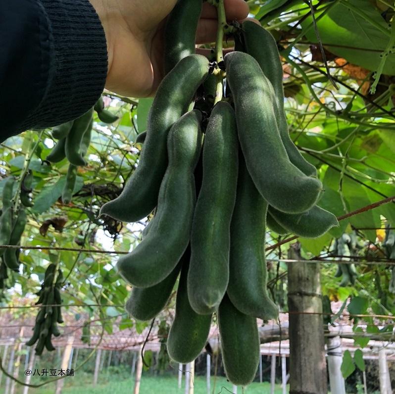 そのままムクナ豆 国産ムクナ豆100% 無農薬自然栽培