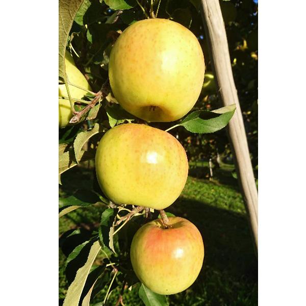 【はねげん】信州育ちのりんご 太陽をいっぱい浴びて育ったりんご ぐんま名月贈答用3kg(8〜11玉) 送料込(沖縄・離島別途590円)