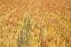 自然栽培・小麦粉 南部小麦 (中力〜強力・岡山県産)