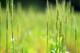 自然栽培・小麦粉 しらさぎ (薄〜中力タイプ・岡山固定種)