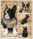 リアルな犬の置物 フレンチブルドッグ ブラック&ホワイト 成犬  お座り イヌのフィギア オブジェ フギュア ガーデニング ベランダアート