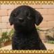 ◇お部屋のインテリアにお庭のオーナメントとしても♪ リアルな犬の置物 ラブラドールレトリバー ブラック お座り 子犬のフィギア