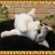 猫の置物 ごろごろベビーキャット ホワイト&グレー ねこオブジェ レジン製 ネコフィギュア インテリア ガーデニング素材