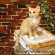 リアルなネコの置物 お座りキャット チャトラ ねこのフィギュア 猫オブジェ お部屋のインテリアにお庭のオーナメントとして