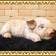 子ぶた リアルな豚の置物  ウトウト・ねむねむ ぶたのフィギア◇お部屋のインテリアにお庭のオーナメントとしても♪