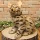 リアルな動物のぬいぐるみ ベンガルヤマネコ 猫の置物 ねこ ネコのオブジェ インテリア フィギュア
