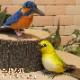 リアルな鳥のぬいぐるみ カワセミ メジロ 2羽セット トリの置物 バード オブジェ インテリア フィギュア