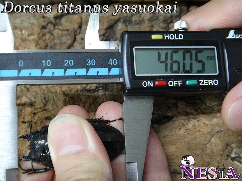 【大型血統】スマトラオオヒラタクワガタ【♂88mm♀46mm】