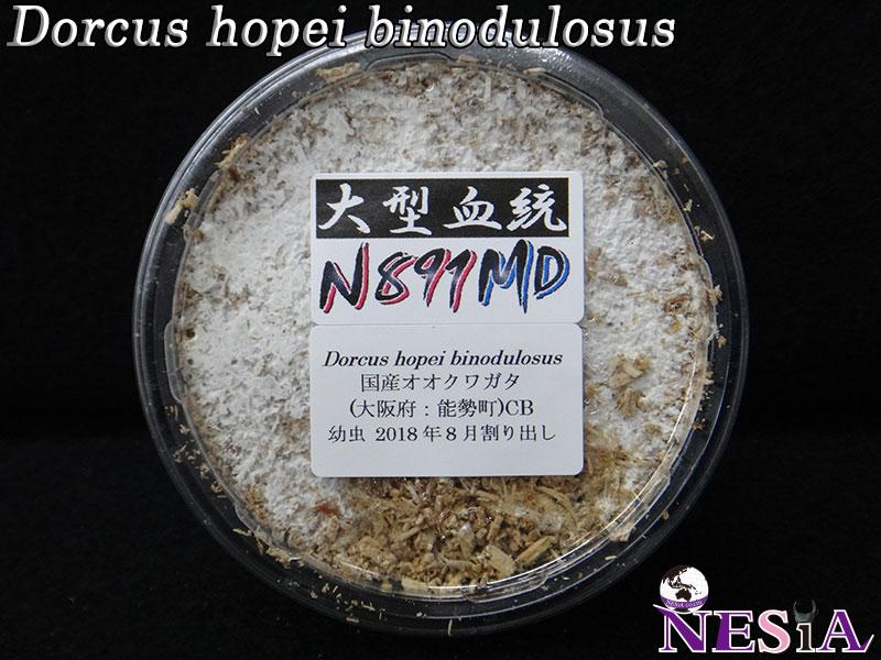 【幼虫】大型血統『N891MD』国産オオクワガタ【菌糸カップ入り】