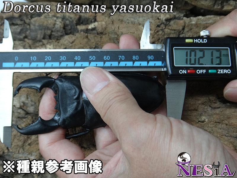 【成虫ペア】大型極太血統『TIGER ZETTA』(スマトラオオヒラタ)【♂98mm♀50mm】
