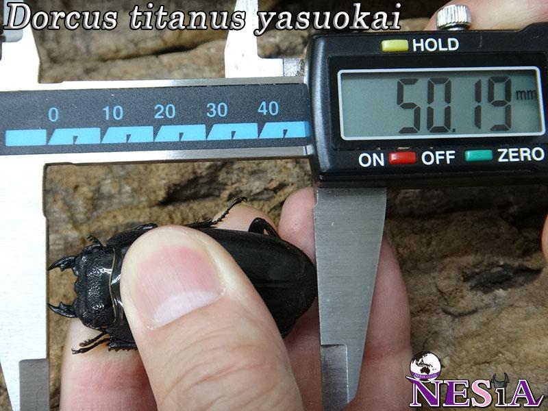 【1♂2♀】大型極太血統『TIGER ZETTA』(スマトラオオヒラタ)【♂101mm♀50mm♀50mm】