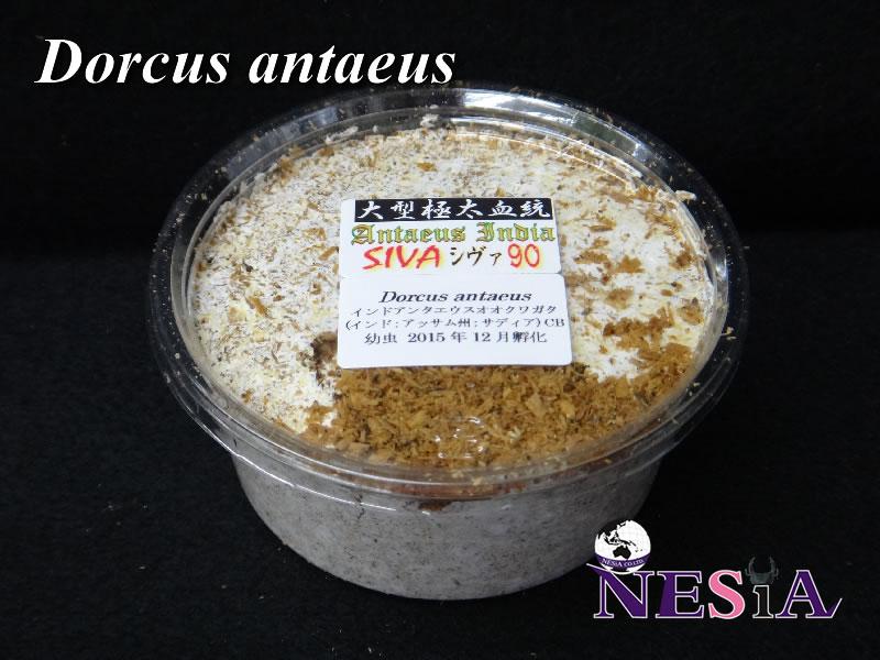 【大型極太血統『Antaeus India SIVA シヴァ 90』】幼虫(単品)【菌糸カップ入】
