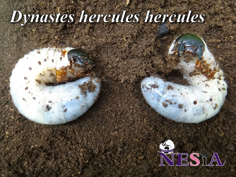 【3令幼虫ペア】ヘラクレスヘラクレスオオカブト【グアドループ:バステール産】
