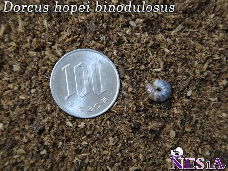【幼虫】極太血統『蛇王』国産オオクワガタ【菌糸カップ付き】