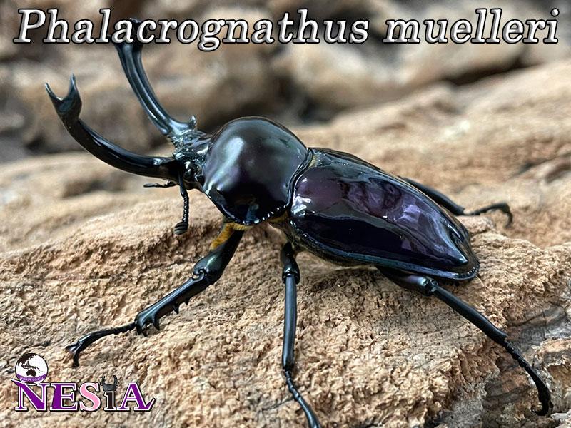 【紫紺血統ブルー系】ニジイロクワガタ【オーストラリア:クイーンズランド州】♂51mm♀36mm