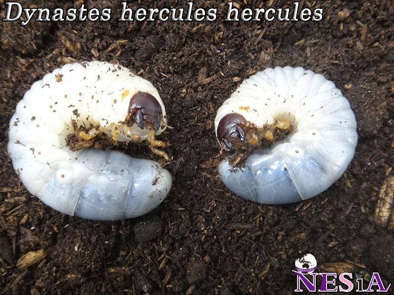 【幼虫ペア】ヘラクレスヘラクレスオオカブト【グアドループ:バステール産】