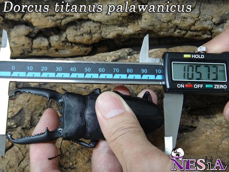 【大型血統】パラワンオオヒラタクワガタ【♂105mm♀50mm】