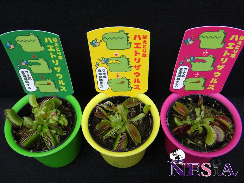 【食虫植物】ハエトリザウルス