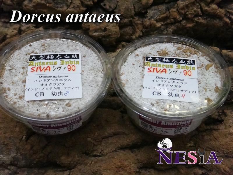 【大型極太血統『Antaeus India SIVA シヴァ 90』】幼虫(ペア)-菌糸カップ入-