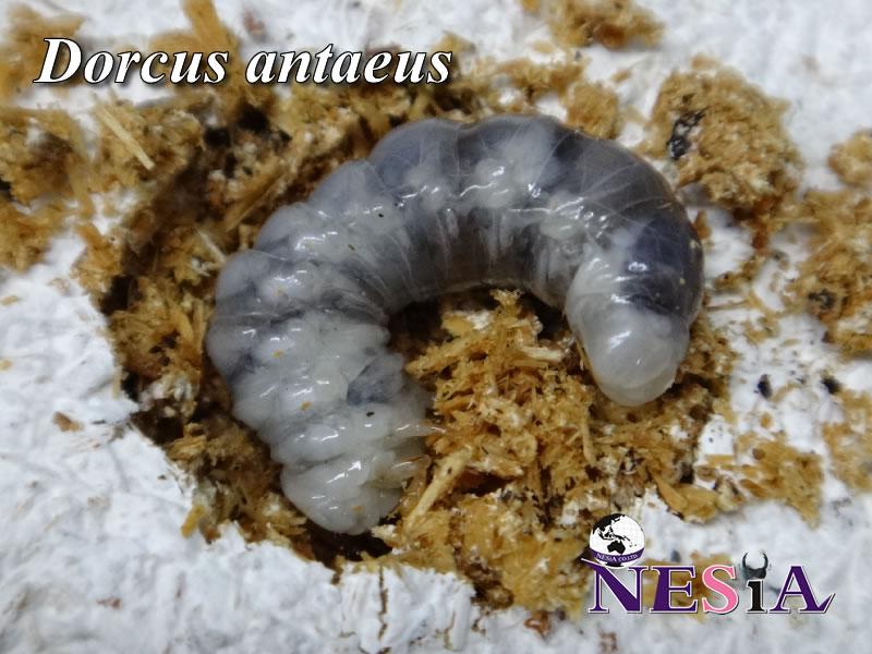 【大型極太血統『Antaeus India SIVA シヴァ 90』】幼虫(ペア)-菌糸ボトル入り-