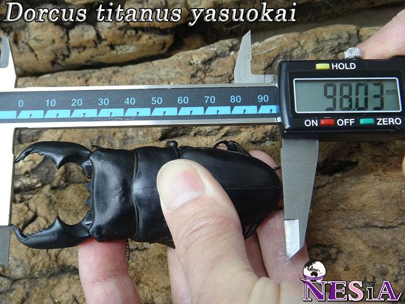 【大型血統】スマトラオオヒラタクワガタ【♂98mm♀51mm】