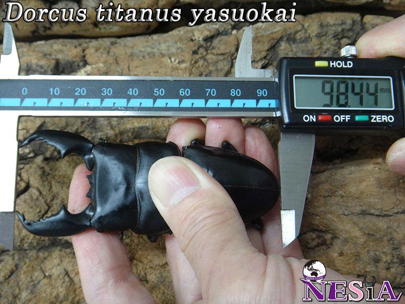 【大型血統】スマトラオオヒラタクワガタ【♂98mm♀50mm】